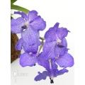 Orchidée 'Vanda x Blue Magic'