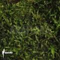 Java mousse 'Vesicularia dubyana'