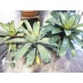 Bromélia 'Vriesea XL' package