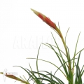 Bromélia 'Vriesea correia araujoi'