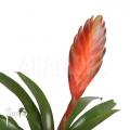 Bromélia 'Vriesea duvaliana'