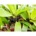 Bromélia 'Vriesea erythrodactylon'