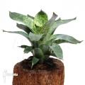 Bromélia 'Vriesea gigantea' (L)