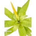 Bromélia 'Vriesea ospinae' 'Starter'