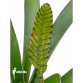 Bromélia 'Vriesea platynema'