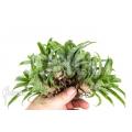 Bromélia 'Vriesea' 'Racinae' '5-deal (5x)'
