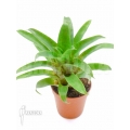 Bromélia 'Vriesea racinae´ starter
