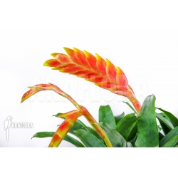Vriesea rubyae flower XL