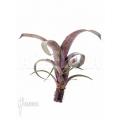 Bromélia 'Vriesea' 'Saundersii' starter