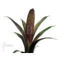 Bromélia 'Vriesea seideliana'