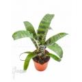 Bromélia 'Vriesea' 'Splendens' starter