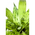 Bromélia 'Vriesea striped 'nr 08130''