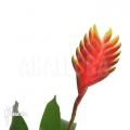 Bromélia 'Vriesea' x 'Solo'