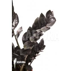 Zamioculcas zamiifolia 'Raven'