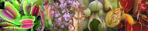 Roridula (buisson attrape-mouche)