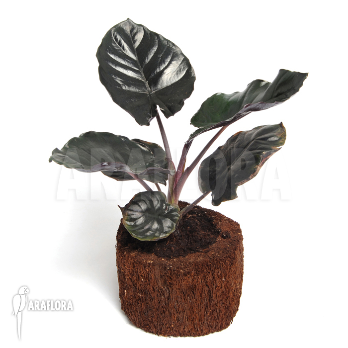 Araflora exotic flora more alocasia infernalis 39 black for Alocasia d interieur