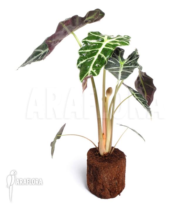 Araflora exotic flora more alocasia sanderiana for Alocasia d interieur