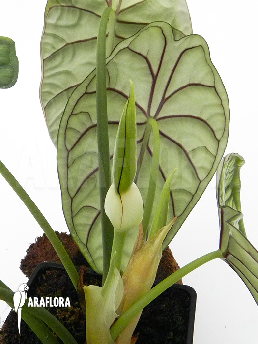 Araflora exotic flora more alocasia baginda for Alocasia d interieur