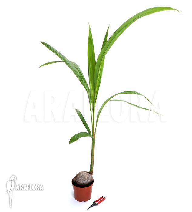 Araflora Exotic Flora Amp More Cocos Nucifera