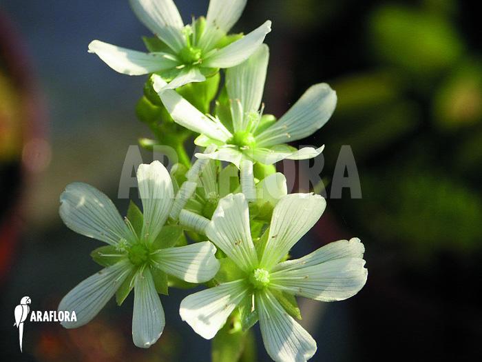 araflora exotic flora more l attrape mouche de v nus 39 dionaea muscipula 39. Black Bedroom Furniture Sets. Home Design Ideas