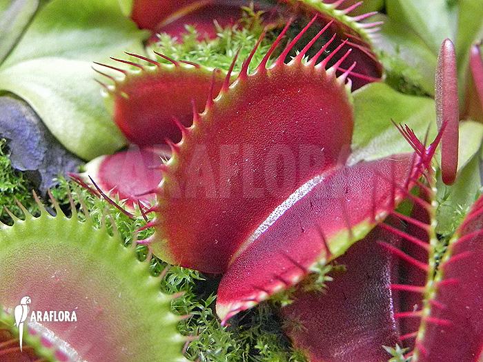 plante carnivore jumbo