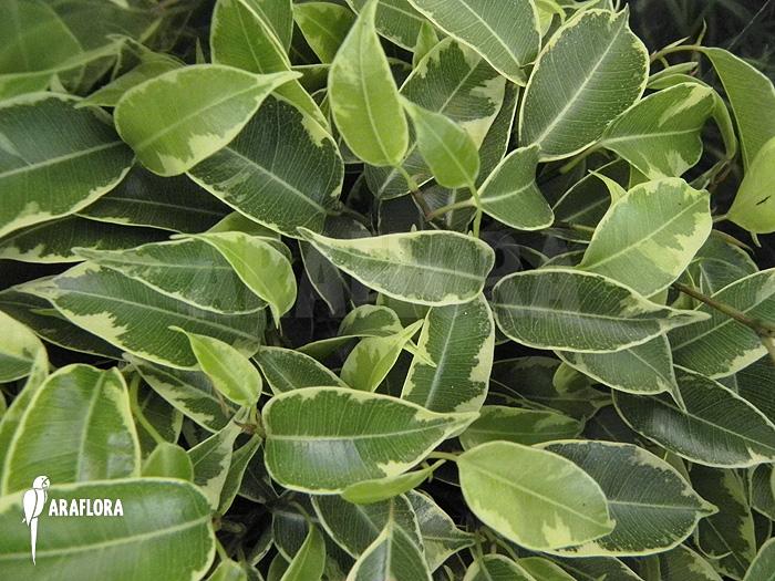araflora exotic flora more ficus benjamina 39 sunny 39. Black Bedroom Furniture Sets. Home Design Ideas