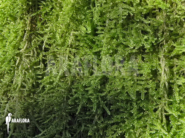Araflora exotic flora more hypne cypres mousse sur arbre 39 hypnum cupressiforme 39 - Mousse sur les arbres ...