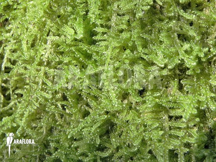 Araflora exotic flora more hypne cypres mousse sur - Mousse sur les arbres ...