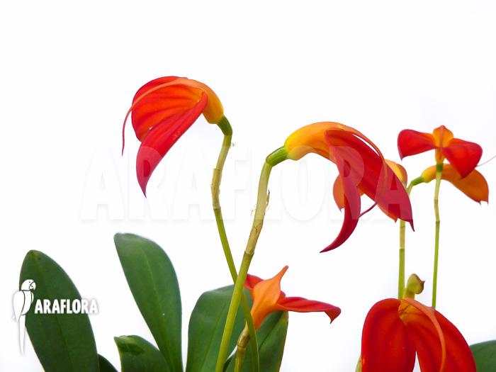 orchidee masdevallia