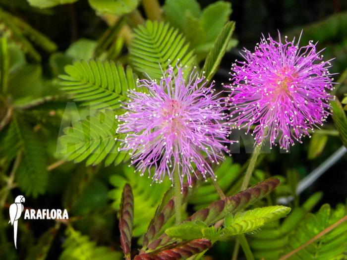 araflora exotic flora more mimosa pudica. Black Bedroom Furniture Sets. Home Design Ideas