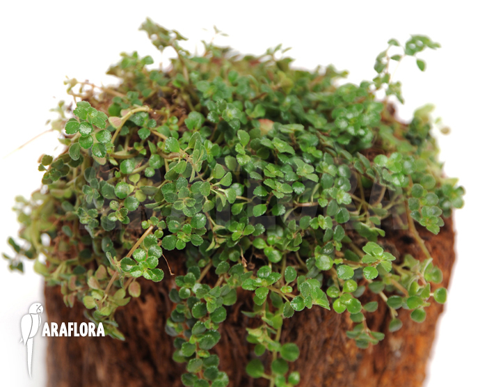 araflora exotic flora more pilea depressa. Black Bedroom Furniture Sets. Home Design Ideas