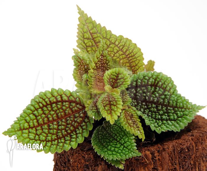 araflora exotic flora more pilea involucrata. Black Bedroom Furniture Sets. Home Design Ideas