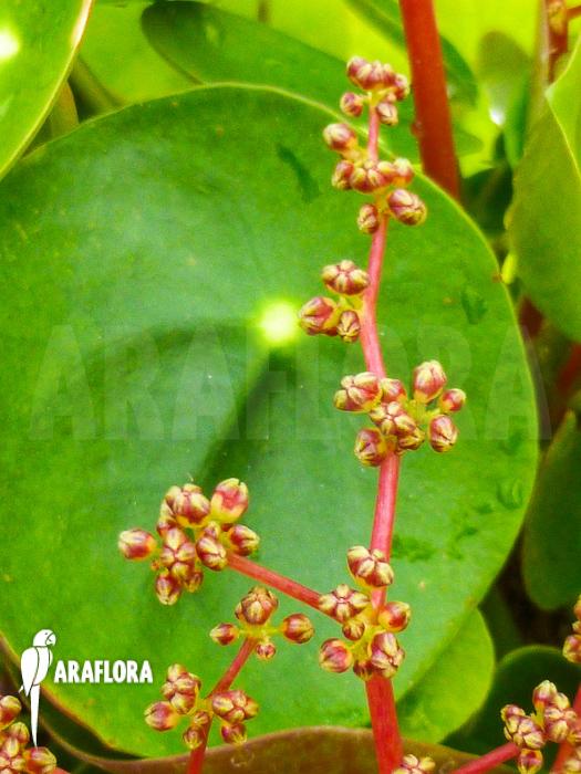 araflora exotic flora more pilea peperomioides. Black Bedroom Furniture Sets. Home Design Ideas