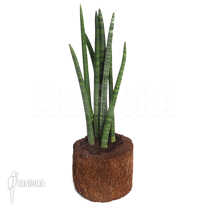 araflora exotic flora more sansevieria cylindrica var patula 39 spaghetti 39. Black Bedroom Furniture Sets. Home Design Ideas